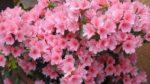 Açelya Çiçeği Nasıl Yetiştirilir? Bakımı Nasıl Yapılır?