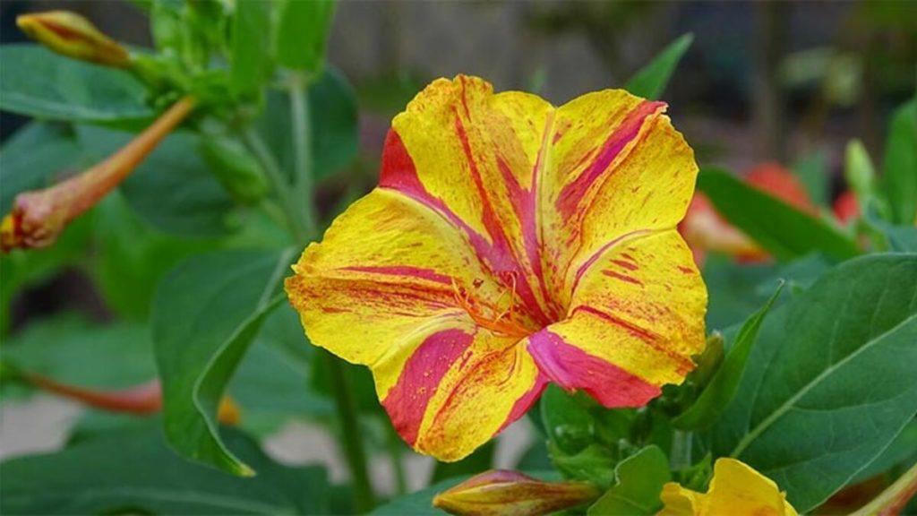 Akşam Sefası Çiçeği