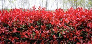 Alev Ağacı (Photinia) Nasıl Yetiştirilir? Bakımı Nasıl Yapılır?