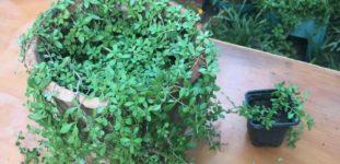 Arapsaçı çiçeği nasıl yetiştirilir? Bakımı nasıl yapılır?