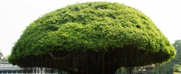 Banyan ağacı nasıl yetiştirilir? Bakımı nasıl yapılır?