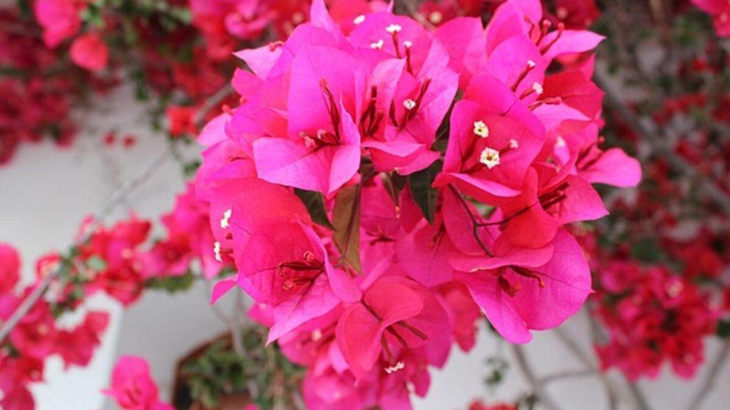 Begonvil Çiçeği