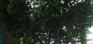 Benjamin ağacı nasıl yetiştirilir? Bakımı nasıl yapılır?