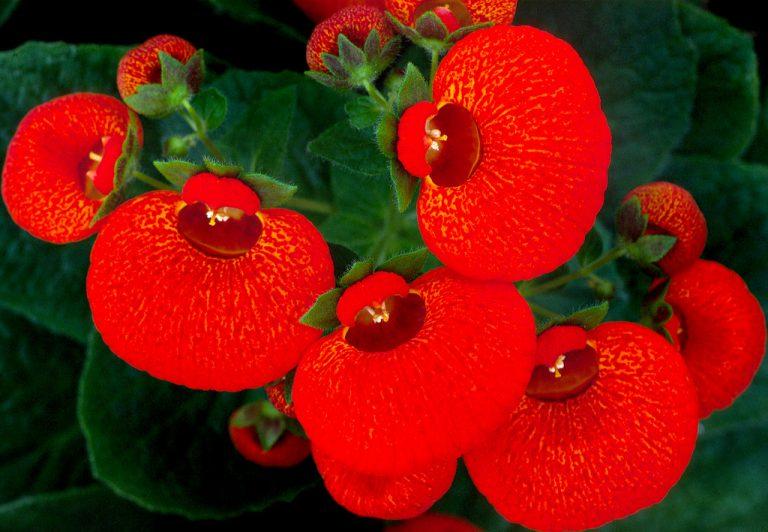 Çanta Çiçeği