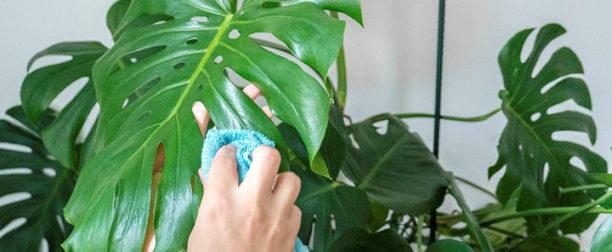 Deve tabanı çiçeği nasıl yetiştirilir? Bakımı nasıl yapılır?