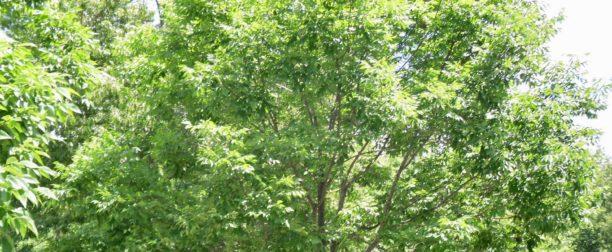 Dişbudak Ağacı Nasıl Yetiştirilir? Bakımı Nasıl Yapılır?