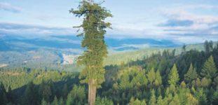 Dünyanın En Büyük Ağacı Nasıl Yetiştirilir? Bakımı Nasıl Yapılır?
