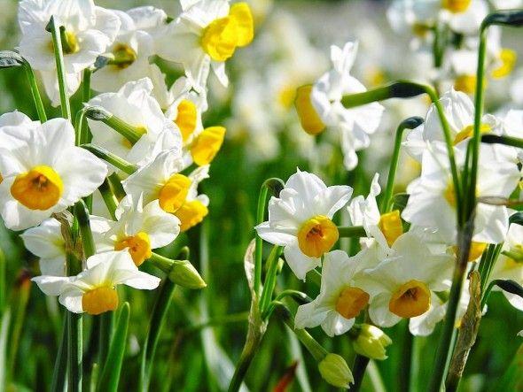 Fulya Çiçeği
