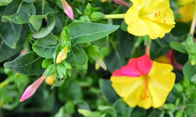 Gecesefası Çiçeği