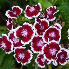 Hüsnüyusuf Çiçeği
