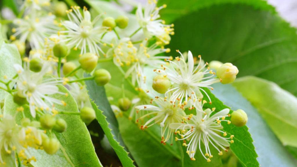 Ihlamur Çiçeği