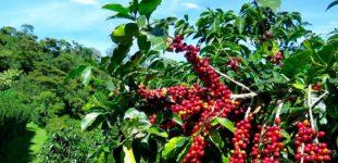 Kahve Ağacı Nasıl yetiştirilir? Bakımı Nasıl Yapılır?