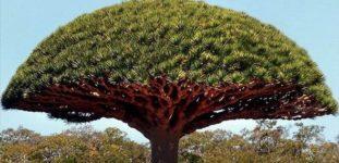 Kardeş kanı ağacı nasıl yetiştirilir? bakımı nasıl yapılır?