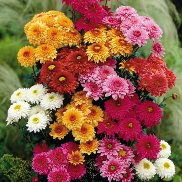 Kasımpatı Çiçeği