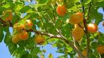 Kayısı ağacı nasıl yetiştirilir? Bakımı nasıl yapılır?