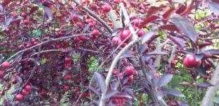Kırmızı Erik Ağacı Nasıl Yetiştirilir? Bakımı Nasıl Yapılır?