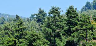 Kızılçam Ağacı Nasıl Yetiştirilir? Bakımı Nasıl Yapılır?