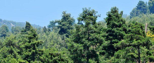 Kızılçam Ağacı Bakımı Nasıl Yapılır? Nasıl Yetiştirilir?