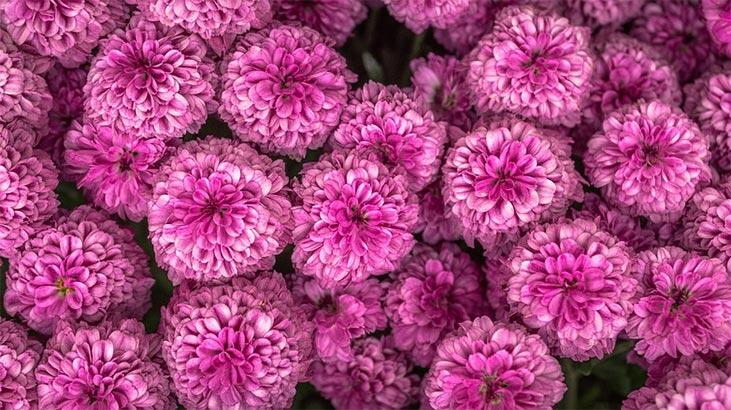 Krizantem Çiçeği