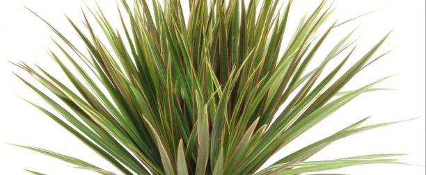 Marginata çiçeği bakımı nasıl yapılır? Nasıl yetiştirilir?