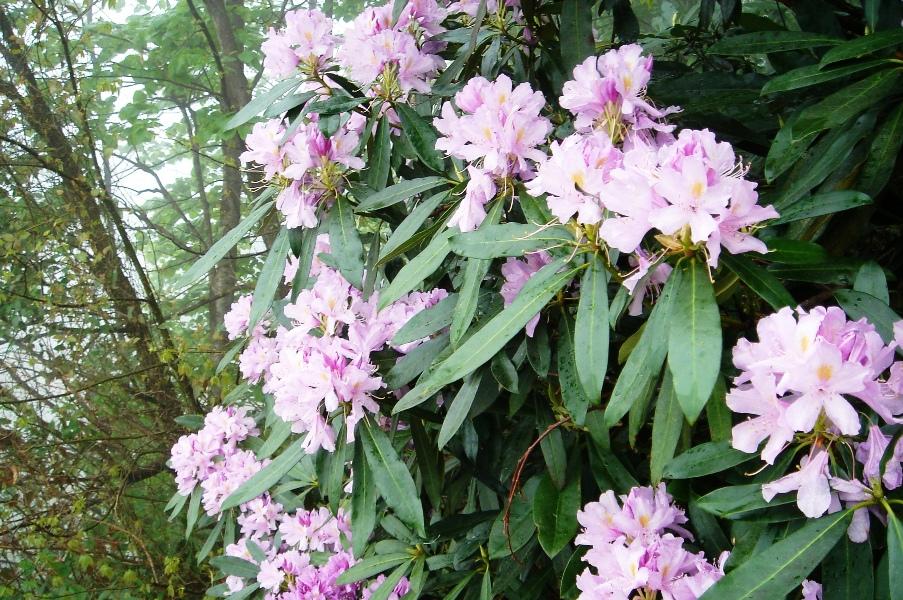 Orman Gülü Çiçeği