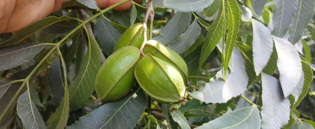 Pikan Ceviz Ağacı Nasıl Yetiştirilir? Bakımı Nasıl Yapılır?
