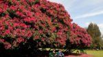 Rhododendron ağacı bakımı nasıl yapılır? Nasıl yetiştirilir?