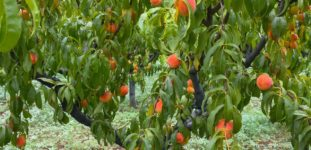 Şeftali Ağacı Nasıl Yetiştirilir? Bakımı nasıl yapılır?