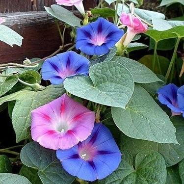 Sarmaşık Çiçeği