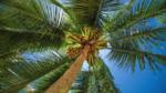 Palmiye ağacı nasıl yetiştirilir? Bakımı nasıl yapılır?