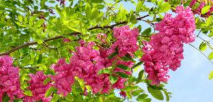 Akasya çiçeği nasıl yetiştirilir? Bakımı nasıl yapılır?