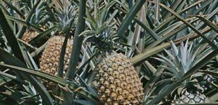 Ananas ağacı nasıl yetiştirilir? Bakımı nasıl yapılır?