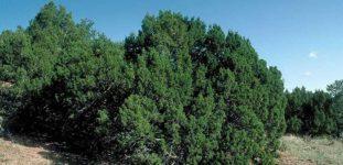 Ardiç ağacı nasıl yetiştirilir? nasıl bakımı yapılır ?
