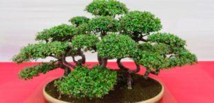 Bonsai ağacı nasıl yetiştirilir? bakımı nasıl yapılır?