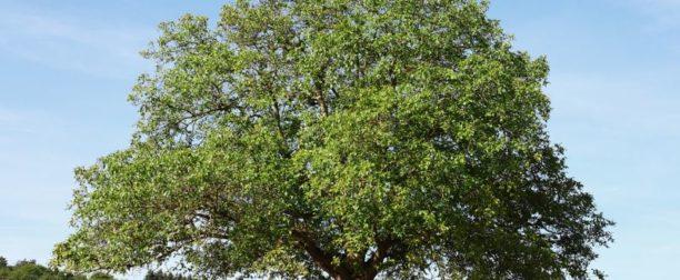 Ceviz ağacı nasıl yetiştirilir? bakımı nasıl yapılır?