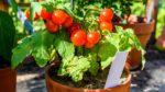 Domates nasıl yetiştirilir? bakımı nasıl yapılır?