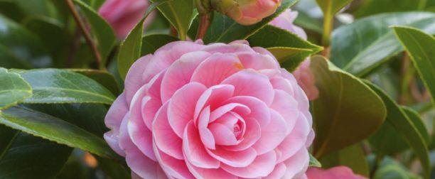 Kamelya çiçeği nasıl yetiştirilir? bakımı nasıl yapılır?