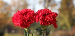 Karanfil nasıl yetiştirilir? bakımı nasıl yapılır?