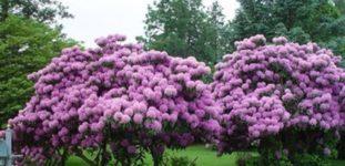 Leylak ağacı nasıl yetiştirilir? bakımı nasıl yapılır?
