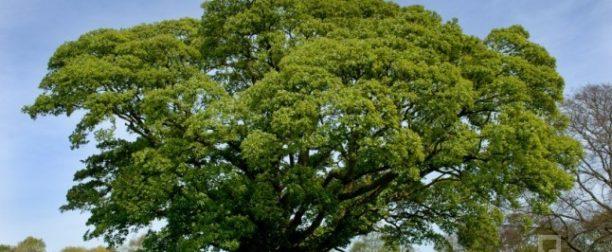 Meşe ağacı nasıl yetiştirilir? Bakımı nasıl yapılır?