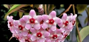 Mum çiçeği nasıl yetiştirilir? bakımı nasıl yapılır?