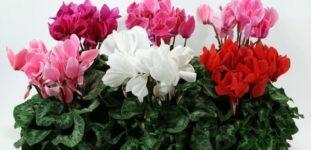 Sıklamen çiçeği nasıl yetiştirilir? bakımı nasıl yapılır?