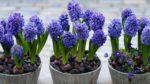 Sümbül (hyacinthus) nasıl yetiştirilir? bakımı nasıl yapılır?