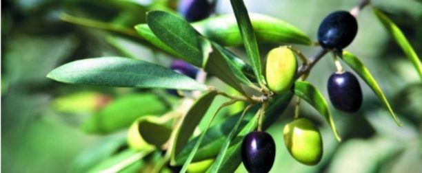 Zeytin ağacı nasıl yetiştirilir? bakımı nasıl yapılır?