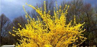 Altın çanak çiçeği nasıl yetiştirilir? Bakımı nasıl yapılır?