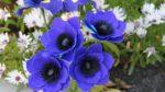 Anemon Çiçeği Nasıl Yetiştirilir? Bakımı Nasıl Yapılır?