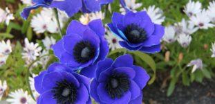 Anemon Çiçeği Bakımı Nasıl Yapılır? Nasıl Yetiştirilir?