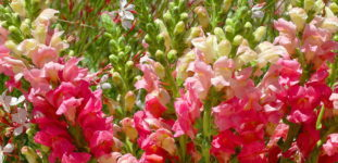 Aslanağzı çiçeği nasıl yetiştirilir? Bakımı nasıl yapılır?
