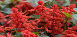 Ateş çiçeği nasıl yetiştirilir? Bakımı nasıl yapılır?