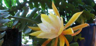 Atlas Çiçeği Nasıl Yetiştirilir? Bakımı Nasıl Yapılır?